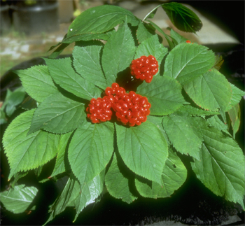 wild ginseng plant, wild grown, cultivated, ginseng berries